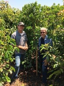 Coffee plants in Goleta
